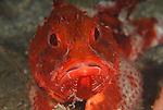 Barbfish, Scorpaena brasiliensis