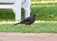 European Blackbird, That's It, Pretoria, SA