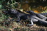 Two young alligators sit in the grass on a river bank in Everglades National Park, Florida.