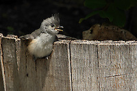Just out of the nest, this baby Black-crested Titmouse is still learning the ropes :)<br />
