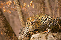 Amur leopards