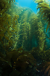 Kelp - Macrocystis pyrifera