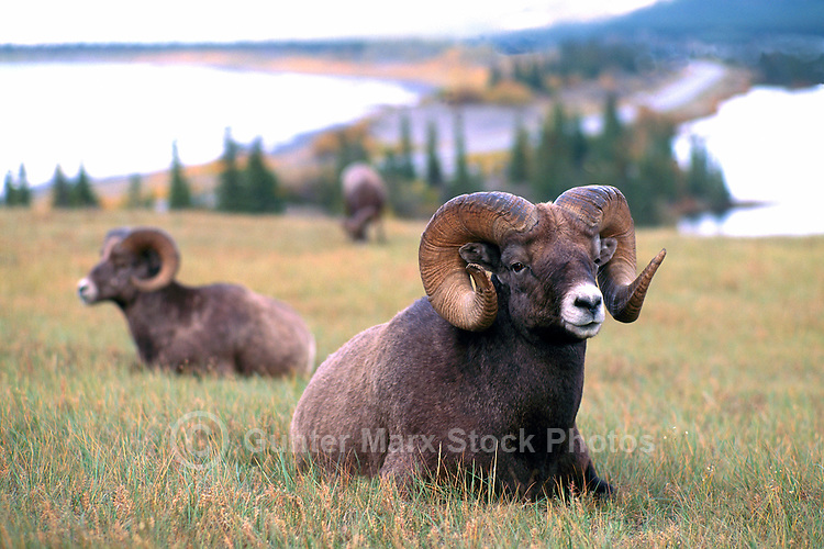 Rocky Mountain Bighorn Sheep Rams (Ovis canadensis) resting in Meadow, Jasper National Park, Canadian Rockies, AB, Alberta, Canada
