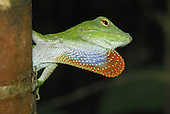 Neotropical Green Anole (Anolis biporcatus) displaying with throat pouch, Braulio Carrillo National Park, Costa Rica.