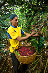Coffee picker picks red cherries on a coffee farm on the slopes of the Santa Ana Volcano in western El Salvador.