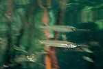 Estuarine halfbeak (Zenarchopterus disper) reflection.