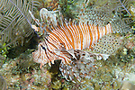 Grand Bahama Island, The Bahamas; a Common Lionfish (Pterois volitans) swims over the coral reef, native to the Indo-Pacific Ocean, they are an invasive species introduced to Caribbean waters and the Atlantic Ocean, these poisonous fish have a voracious appetite and are rapidly multiplying with no known predators, wreaking havoc on the local ecosystems