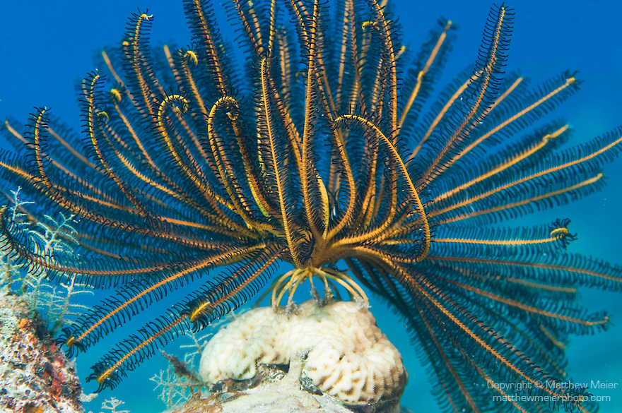 Paradise House Reef, Taveuni, Fiji; a yellow and black feather star sits atop a hard coral formation
