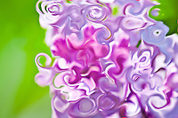 lilac color of the nature in a flower on green background,spring season,abstract photography. Fine art photography, modern art. Printed size 4x6 inches on metal