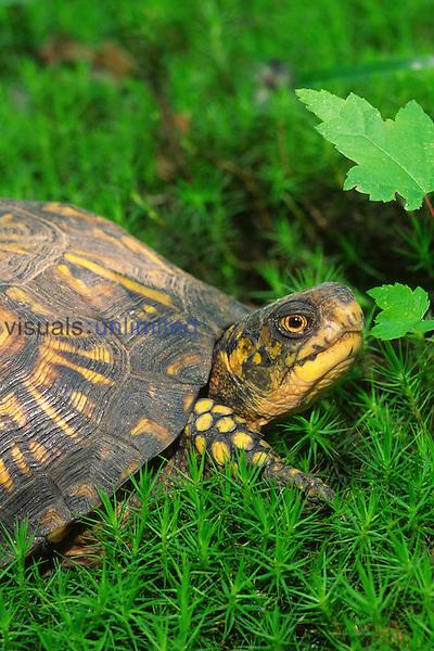 Female Eastern Box Turtle (Terrapene carolina carolina)  found in forests of the eastern United States.