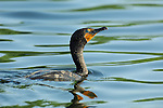 Cormorant Breeding Colors Double-crested Cormorant Sepulveda Wildlife Refuge Southern California Close Portrait