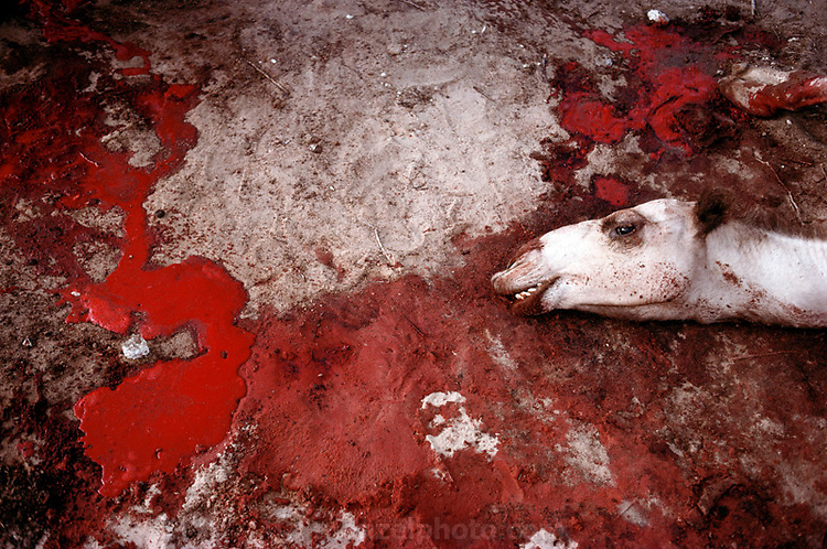 SOM_36_xs.Camel slaughtered for meat by the side of the road in Mogadishu, Somalia. March 1992.  .