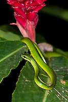 A diurnal Giant Parrotsnake (Leptophis ahaetulla) sleeping atop Red Ginger (Alpinia purpurata), Bocas del Toro, Colon Island, Panama