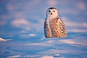Snowy owl sitting in snow at sunset, Canada