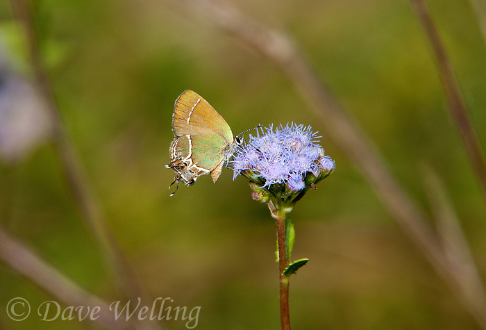 345390001 a rare Valley butterfly a wild xami hairstreak butterfly callophrys xami at  the naba site in mission hidalgo county lower rio grande valley texas united states