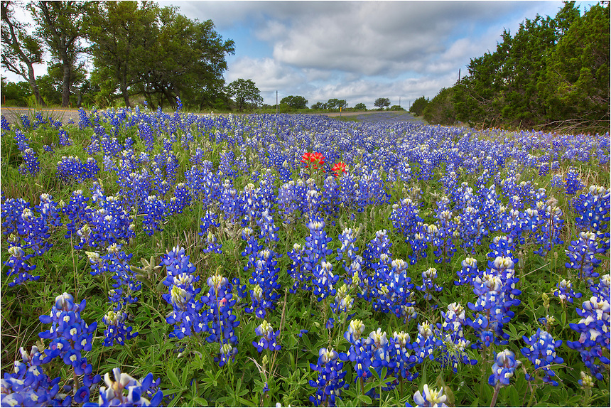 Along CR 3347 each spring, you can often find patches of blue and red. This bluebonnet picture was captured early in the morning as thick clouds began breaking up, revealing patchy blue skies - perfect light for these types of shots. The Texas Wildflowers along this stretch can come in all colors. On this day I saw coreopsis, Indian Blankets, phlox, white prickly poppies, and firewheels - perfect for capturing Texas wildflower images.