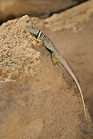 414390016 a wild great basin or desert collared lizard crotaphytus insularis bicinctores perches on a rock along chalk cliffs road near bishop in northern inyo county california united states