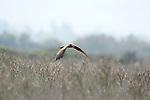 Marsh Harrier, Circus aeruginosus, Lesvos Island, Greece, flying over reedbed, Kalloni Salt Pans, hawk, in flight, summer migrant , lesbos