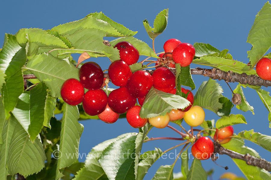 Vogel-Kirsche, Vogelkirsche, Süß-Kirsche, Süßkirsche, Kirsche, Kirschen, Kulturkirsche, Früchte, Obst, Obstbaum, Prunus avium, Gean, Mazzard, Cherry
