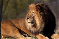 Lion (Panthera leo leo), zone Sahel-Soudan, new Parc Zoologique de Paris, or Zoo de Vincennes, (Zoological Gardens of Paris, also known as Vincennes Zoo), Museum National d'Histoire Naturelle (National Museum of Natural History), 12th arrondissement, Paris, France. Picture by Manuel Cohen