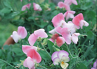 Lathyrus odoratus 'Pink Cupid' (with Viola Magnifico), sweet peas combination