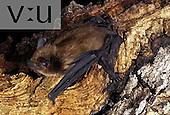 A Big Brown Bat (Eptesicus fuscus) Burro Mountains, New Mexico