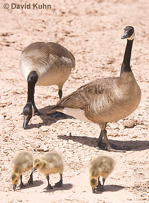 0224-1202  Canadian Gosling Foraging for Food (Canada Goose, Canadian Goose), Branta canadensis  © David Kuhn/Dwight Kuhn Photography