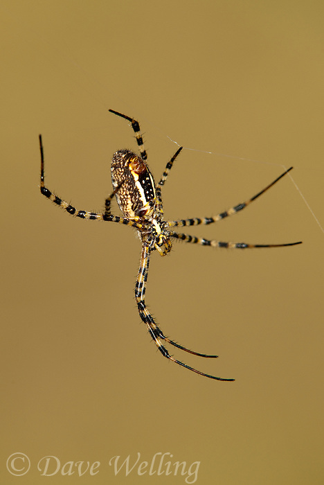 389900007 a wild banded garden spider argiope trifasciata  perches in its web at southeast regional park in austin travis county texas united states