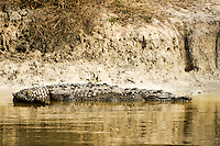 A crocodile on a canal bank in Flamingo on the southern tip of peninsular Florida on the edge of the Keys and the Everglades. Note the flat and long head - much different than an alligator.