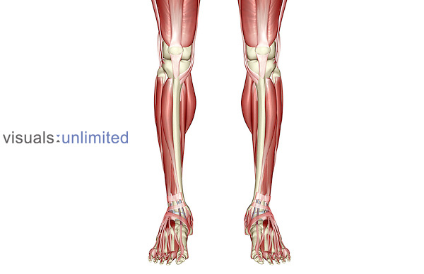 An anterior view of the muscles of the legs. Royalty Free