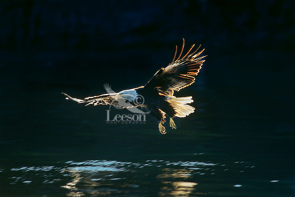 Bald Eagle swooping down to catch a fish.  Pacific Northwest.