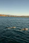 Dolphins off Dana Point California