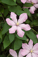 Clematis 'Ai-Nor' (EL), pale shell pink flowering perennial vine in bloom, single-petalled flowers with yellow stamens