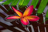 A colorful plumeria flower floats in a pond on O'ahu.
