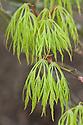 Acer palmatum 'Dissectum', mid April.