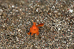Baby Orange painted frogfish (Antennarius pictus) on the sand. About 4mm in size.