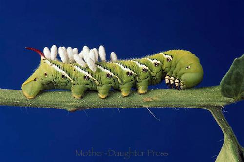 Tomato hornworm on green stem