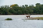 A jaguar walks along a river bank in the Pantanal of Brazil.