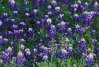 Stock photo of a field of bluebonnets