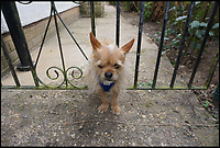 BNPS.co.uk (01202 558833)<br /> Pic: KerriannGodwin/BNPS<br /> <br /> This is the hilarious moment Hugo the miniature dog got stuck in his garden gate while the ginger cat he was chasing smugly looks on.<br /> <br /> The Chihuahua Yorkshire terrier cross dog tried to run through a gap in the metal gate after spotting the tom cat prowling outside his front garden in Bournemouth.<br /> <br /> Despite his tiny frame, the three-year-old got stuck fast in the gap and was unable to get himself free.<br /> <br /> His owner, Kerriann Godwin, calling the fire brigade which arrived to free him.