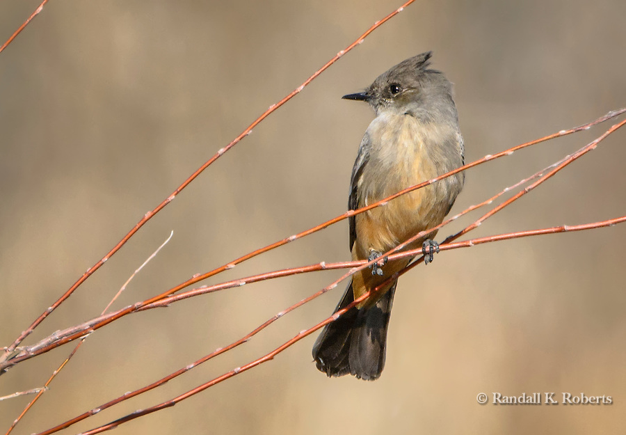 Eastern Phoebe, Bosque del Apache NWR, New Mexico