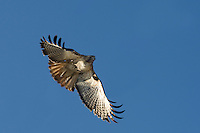 A Redtail Hawk hunts for prey from above.