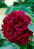 Rosa 'Munstead Wood' David Austin deep red roses, double crimson shrub rose aka Ausbernard