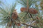 Pine cones at Don Castro RRA