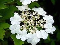 Stunning white flower oakleaf hydrangea blooms in rural garden