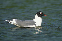 540000002 a wild adult franklins gull larus pipixcan in breeding plumage swims in a pond in the rio grande valley of south texas
