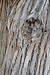 Bark of Arizona cypress (Cupressus arizonica), Coronado National Forest, Arizona
