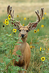 Mule Deer Buck in Velvet