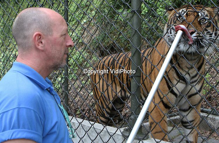 Foto: VidiPhoto..ARNHEM - In Burgers' Zoo in Arnhem krijgt tijgerin Hujan dinsdag vanachter veiligheidsgaas vlees met medicijnen toegediend. De Sumatraanse tijgerin wordt ontwormd voordat ze donderdag verhuist naar de dierentuin van Bewdley in Engeland. Tot die tijd wordt het roofdier afgezonderd van de andere tijgers. Met de 5,5 jaar oude Hujan mag niet meer gefokt worden omdat de genen van het dier al oververtegenwoordigd zijn in de Europese dierentuinen..