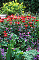 Monarda beebalm in garden, Cambridge Scarlet red flowers in combination with other perennial plants, trees, fence